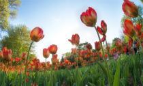 Ngắm đồng hoa Tulip khoe sắc dưới ánh nắng sớm mai