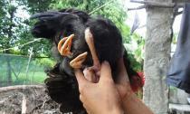 Con gà 'ma quỷ' có 4 chân tại Hà Tĩnh