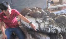 Phát hiện cây nấm linh chi 'khủng' nặng 220kg, dài 1,7m