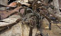 Phát hiện nhện 'khổng lồ' lớn nhất thế giới