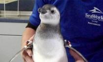 Chim cánh cụt duy nhất trên thế giới chào đời bằng phương pháp thụ tinh ống nghiệm