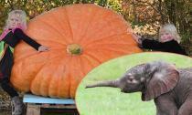 Chiêm ngưỡng quả bí ngô Halloween khổng lồ nặng 464kg