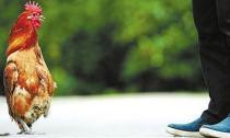 Chú gà có thể đứng thẳng lưng đi lại như người