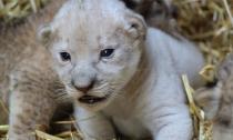 Sư tử trắng cực hiếm mới chào đời