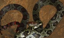 Chuyện kỳ lạ về đôi rắn