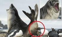 'Chết cười' trước khoảnh khắc hải cẩu bị cắn trúng 'bàn tọa'