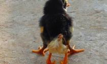 Chú gà mới nở có 4 chân tại Nghệ An