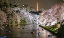 Đẹp mê hồn sắc hoa anh đào nở rộ trên đất Nhật Bản