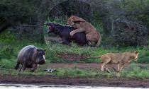 Hài hước cảnh sư tử bị hà mã đuổi 'chạy mất dép' vì cắn trộm