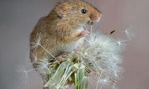 Loạt ảnh chuột và hoa bồ công anh tuyệt đẹp