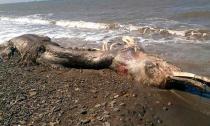 Sinh vật lạ có lông và mỏ trôi dạt vào bờ biển khiến người xem kinh hãi