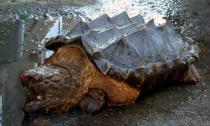 Phát hiện loài rùa lạ có 'gai' ở mai