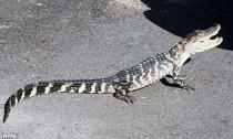 Xuất hiện cá sấu 3 chân ở trên đường phố