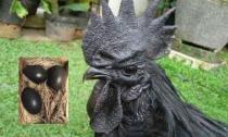 Gà đẻ trứng đen hiếm gặp