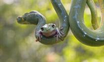 Ếch xanh 'làm bạn' với rắn độc