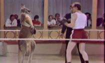 Hài hước trận boxing kinh điển giữa người và Kangaroo