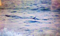 Cá lạ khổng lồ bơi dọc biển Tuy Hòa, cảnh báo nguy hiểm