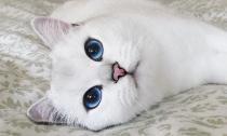 Con mèo có đôi mắt sắc xinh đẹp nhất thế giới từng biết