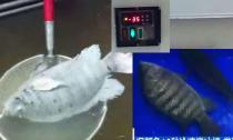 Cá rô phi đông cứng âm 35 độ vẫn bơi lội tung tăng