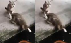 Cá đớp mèo ngoạn mục