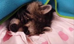 Đừng phiền 'gấu em' ngủ nướng mà