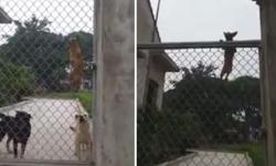 Chó trèo rào như khỉ