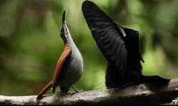 Vẻ đẹp đáng kinh ngạc của 39 loài 'Chim thiên đường'