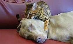 Mèo con massage cho cún