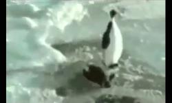 Những chú chim cánh cụt hài hước