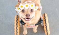 Niềm tin của chú chó khuyết tật trên xe lăn gây xúc động