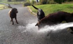 Những chú chó tinh nghịch