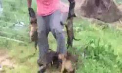 Thanh niên bị hơn chục chú chó 'tấn công' không chịu tha