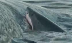 Rùng mình cảnh cá mập ngấu nghiến xác cá voi khổng lồ