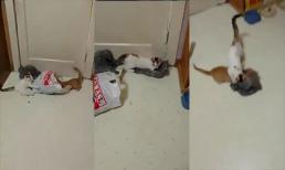 Cặp mèo tinh nghịch với những chiếc túi nilon