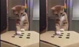 Mèo thích thú chơi trò chơi