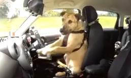 Chú chó biết lái xe ô tô