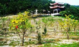 Vườn mai ở khu mộ Đại tướng Võ Nguyên Giáp đã ra hoa