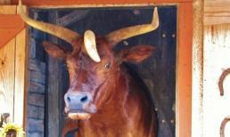 Kỳ lạ cô bò có 3 sừng