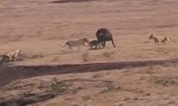 Trâu mẹ liều mình bảo vệ con trước bầy sư tử đói