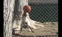 Chú chó tâng bóng khéo không kém cầu thủ chuyên nghiệp