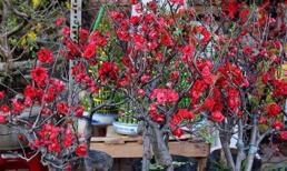 Mai đỏ bày bàn, trăm ngàn một cây