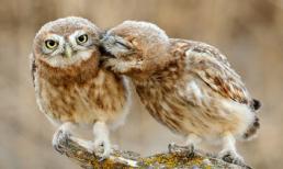 Nụ hôn lãng mạn của chim cú trước ngày Valentine