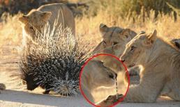 Sư tử bị nhím xuyên thủng mũi