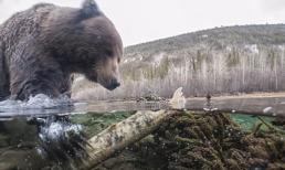 Cận cảnh quá trình gấu xám bắt mồi ở Canada