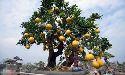 Những siêu cây cảnh 'đắt xắt ra miếng' trong dịp Tết