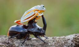 Ếch con tinh nghịch 'đè đầu cưỡi cổ' bọ cánh cứng