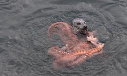 Cuộc chiến giữa sư tử biển và bạch tuộc khổng lồ