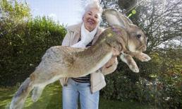 Chú thỏ lớn nhất thế giới với chiều dài 1,2m