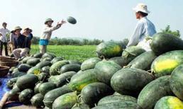 Nông sản Việt đang 'chết mòn' vì... thương lái