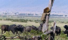 Khoảnh khắc sư tử chạy thục mạng vì bị trâu rừng truy đuổi